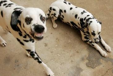 snarly_dalmatians