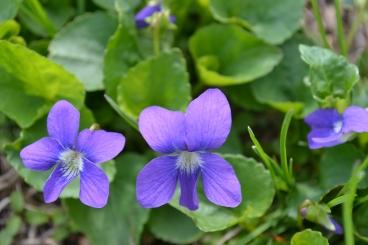 wild-violet-flower