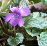 viola-selkirkii