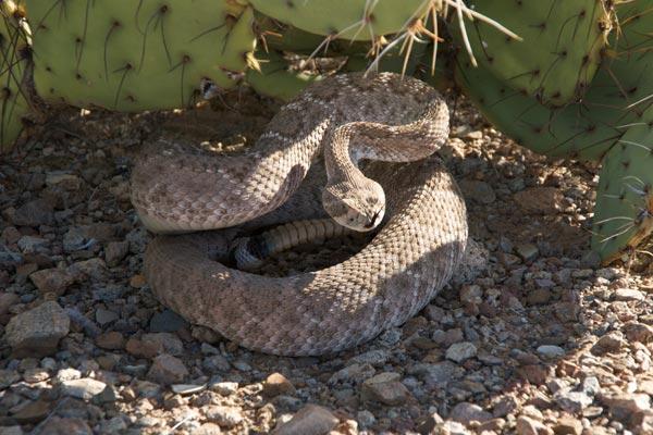 09050605PD_rattlesnake