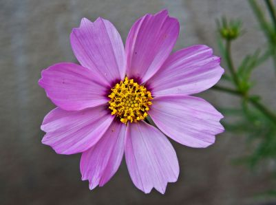 Cosmos_bipinnatus_pink,_Burdwan,_West_Bengal,_India_10_01_2013