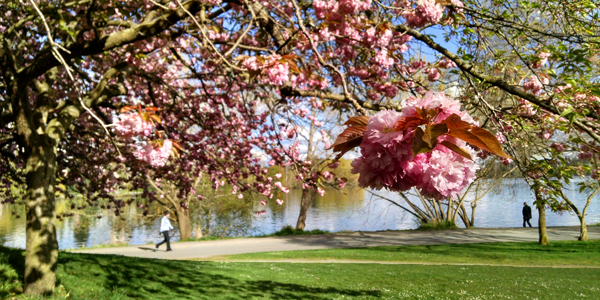 GreenLakeCherryBlossoms