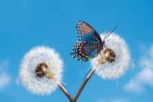 butterfly-on-dandelion-royalty-free