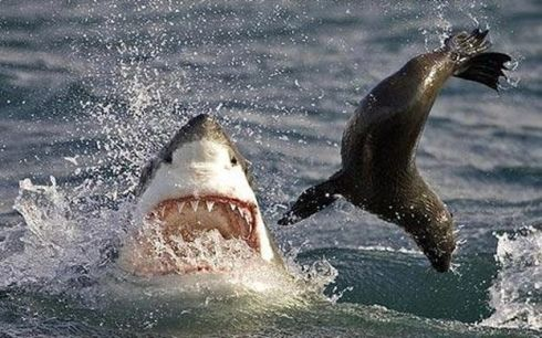 https___4.bp.blogspot.com__X1IWXuEbgXI_TB8mif3iWzI_AAAAAAAACiQ_pAQht1MwmsQ_s640_seal+hunt+great+white+shark